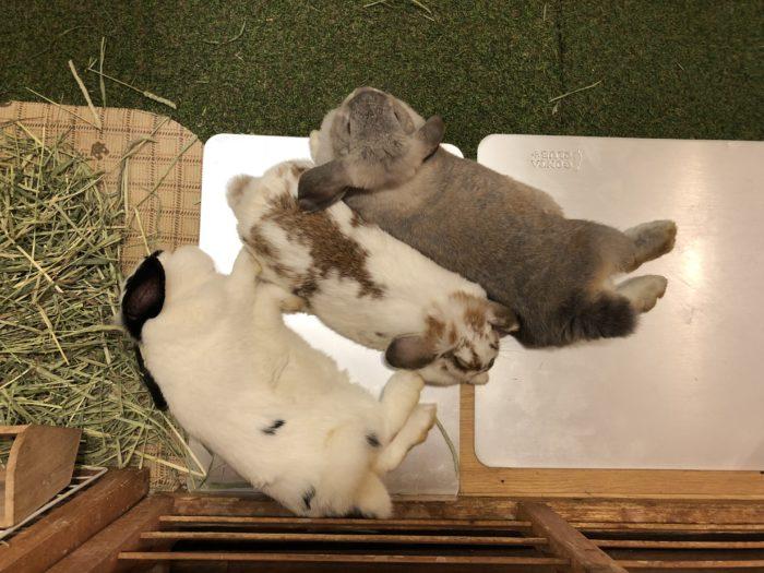 Kaninerna Yomogi, Komugi och Roger