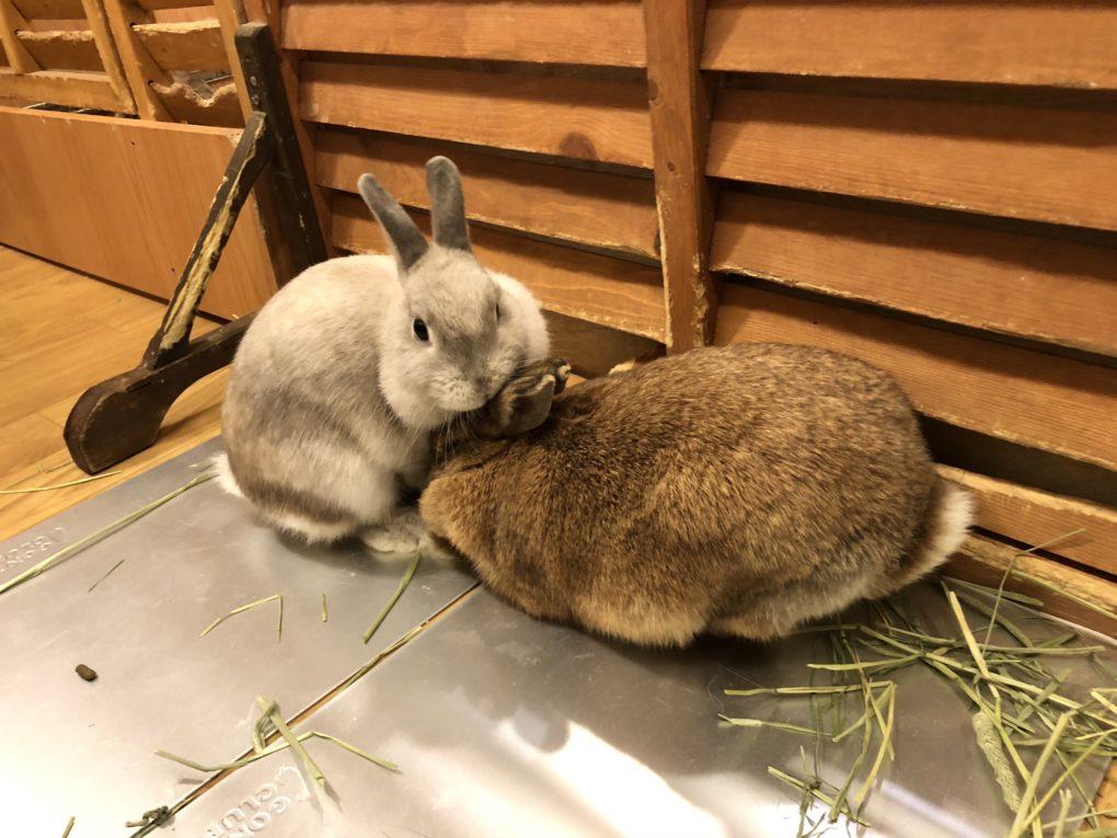 Kaninerna Spica och Chami leker